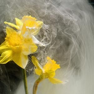 Narcis ck 40