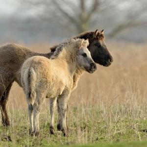 paard cg 36
